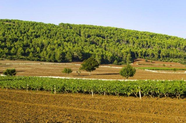 Puglia - Wijnranken